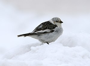Snow bunting - Male in breeding plumage, Alaska