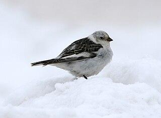 Snow bunting species of bird