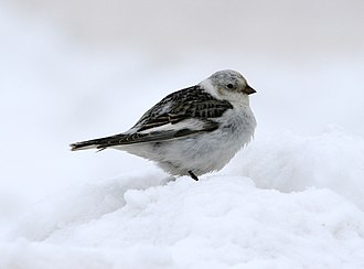 Laptev Sea - Snow bunting