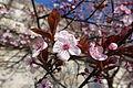 Plum blossom @ Paris (24929051963).jpg