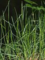Poa.nemoralis.in.may.germany.jpg