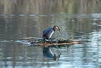 Podiceps grisegena nest Humber Bay Park Toronto.jpg