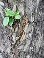 Podocarpus lambertii (7890750796).jpg