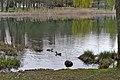 Poertschach Halbinselpromenade Ostbucht Entenpaar 04042014 944.jpg