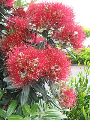Metrosideros excelsa - Pōhutukawa in bloom