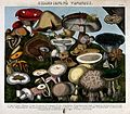 Poisonous fungi - 24 species, including Agaricus, Hypophyllu Wellcome V0043131.jpg