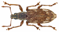 Polydrusus tereticollis (DeGeer, 1775) Syn.- Polydrusus undatus (Fabricius, 1781) (14855250214).png