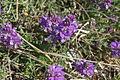 Polygala vulgaris PID786-1.jpg