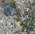 Polygonum oxyspermum subsp. raii plant (05).jpg