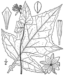 Polymnia canadensis BB-1913.png