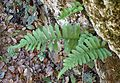Polypodium californicum kz1.jpg