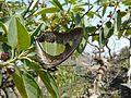 Polyura athamas (Common Nawab) (3350962419).jpg