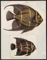 Pomacanthus paru - 1700-1880 - Print - Iconographia Zoologica - Special Collections University of Amsterdam - UBA01 IZ13100249.tif