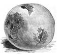 Pomme de terre Blanchard Vilmorin-Andrieux 1883.png