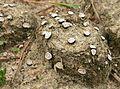 Poronia erici habitat.jpg