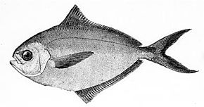 Description de l'image Poronotus triacanthus.jpg.