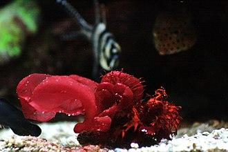 Red algae - Image: Porphyra (haploide y diploide)