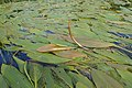 Potamogeton nodosus kz04.jpg