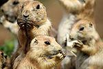 Prairie Dogs - Cotswold Wildlife Park (28916615010).jpg