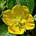 Primrose Willow (4883848602).jpg