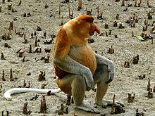 Proboscis Monkey (Nasalis larvatus) male (6707344031).jpg