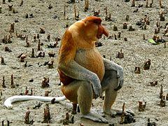 Proboscis Monkey (Nasalis larvatus) male (6707344031)