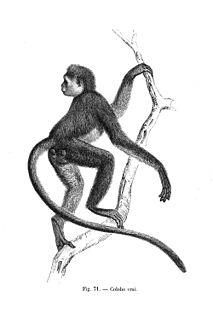 <i>Procolobus</i> Genus of Old World monkeys