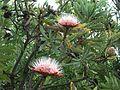 Protea caffra, in blom, Voortrekkermonument-NR, b.jpg