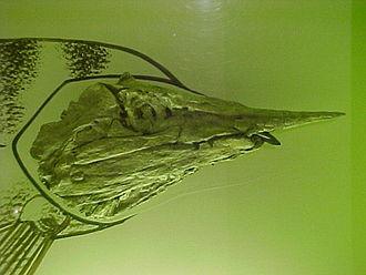 Niobrara Formation - Skull of Protosphyraena