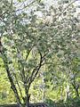 Prunus lannesiana Wils cv Grandiflora01.jpg