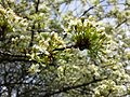 Prunus mahaleb sl1.jpg