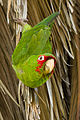 Psittacara erythrogenys, Presidio.jpg