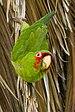 Pericos - Photo (c) Frank Schulenburg, algunos derechos reservados (CC BY-SA)