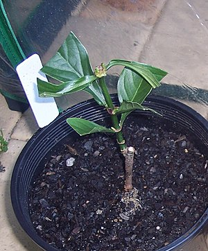 Psychotria viridis - A potted, young Psychotria viridis plant shortly after its leaves were clipped for propagation.
