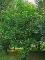 Ptelea trifoliata 001.JPG