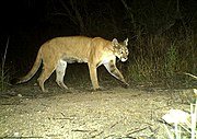 Camera trap image of mountain lion