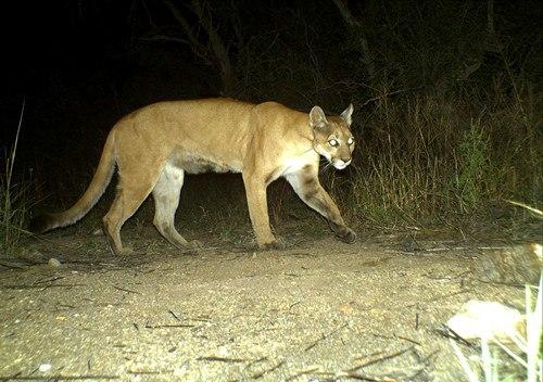 Camera trap image of mountain lion