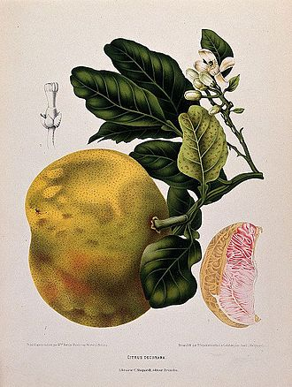 Pomelo - Flowering and fruiting branch with numbered fruit segment and flower section, Chromolithograph by P. Depannemaeker, c. 1885, after B. Hoola van Nooten