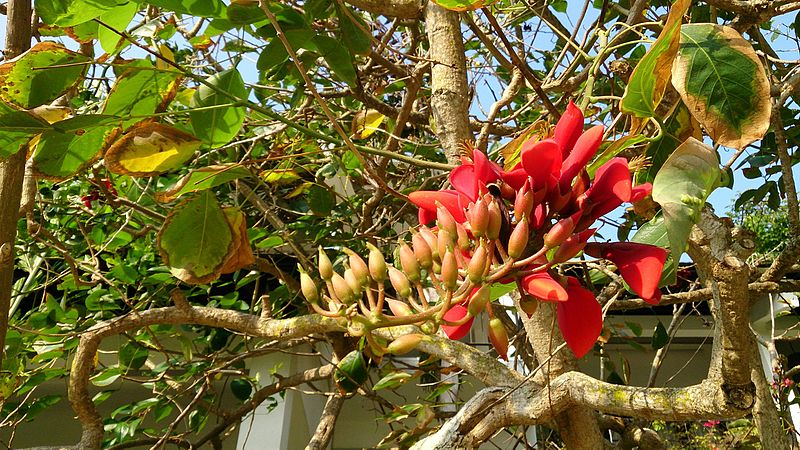 File:Purple Coral Tree (Erythrina Fusca).jpg
