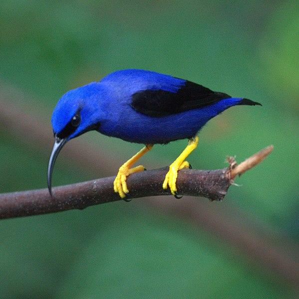 File:Purple Honeycreeper (male ) (5535471683).jpg