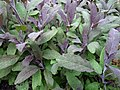 Purplesage.jpg