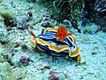 Pyjama Chromodoris Nudibranch.jpg