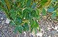 Quadrella cynophallophora (Capparis cynophallophora) - Marie Selby Botanical Gardens - Sarasota, Florida - DSC01376.jpg