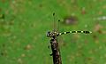 Quarre's Fingertail (Gomphidia quarrei) male (6607452059).jpg