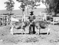 Queensland State Archives 1708 Twin calves Rosevale March 1952.png
