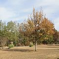 Quercus acutissima in Marengo Alabama USA.JPG