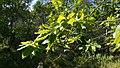 Quercus canariensis Espuna120960.jpg