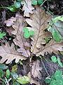 Quercus frainetto Bosilegrad 2.JPG