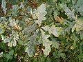 Quercus robur - mildew 01 ies.jpg