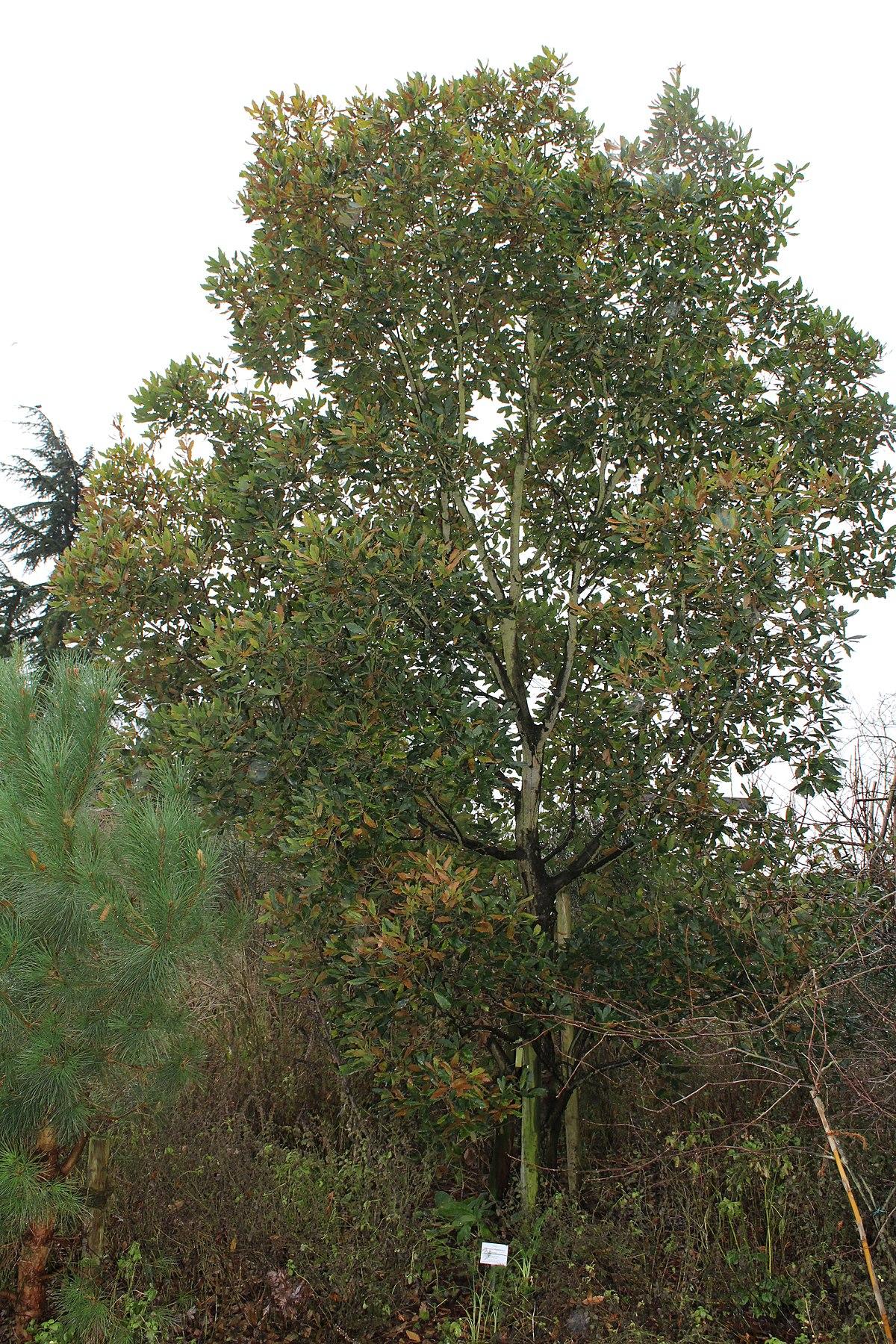 Quercus × turneri – Wikipedia